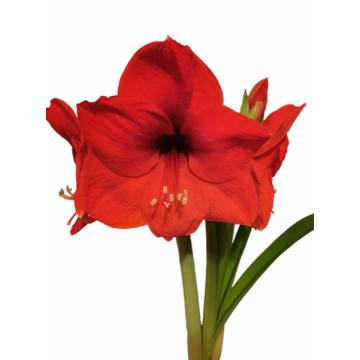 MEILENIS (AMARILIS) RED LION