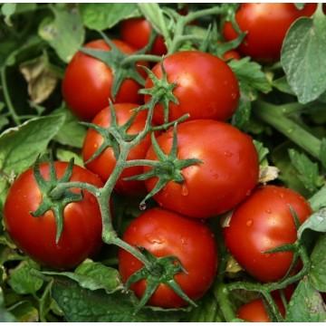 Pomidorai Chibli 10s