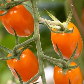 Pomidorai Bambello 5s