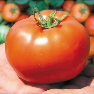 Pomidorai Bobcat 10s
