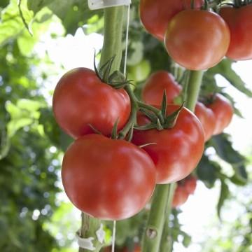Pomidorai Mamirio 500 sėklų