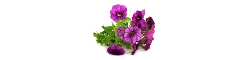 Petunijos, petunjų sėklos